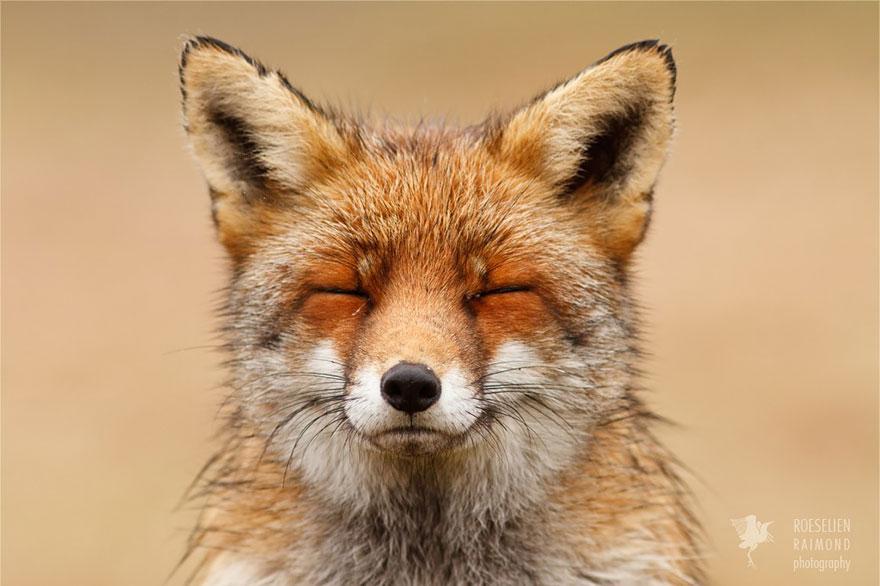 foto-volpi-selvatiche-roeselien-raimond-05
