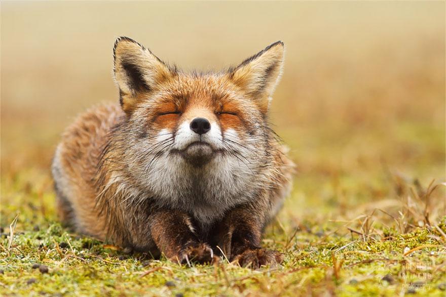 foto-volpi-selvatiche-roeselien-raimond-07