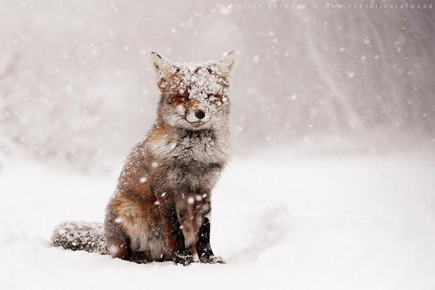foto-volpi-selvatiche-roeselien-raimond-08