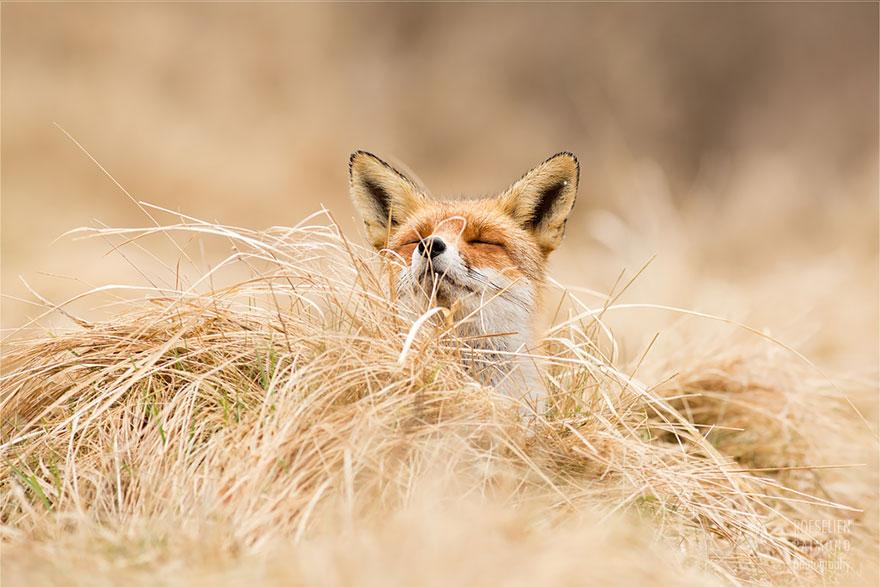 foto-volpi-selvatiche-roeselien-raimond-09