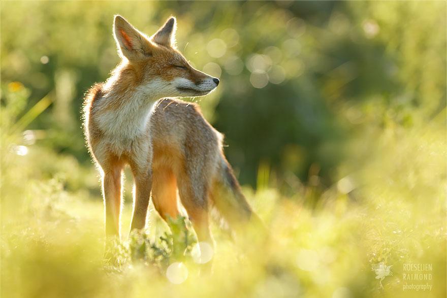foto-volpi-selvatiche-roeselien-raimond-10