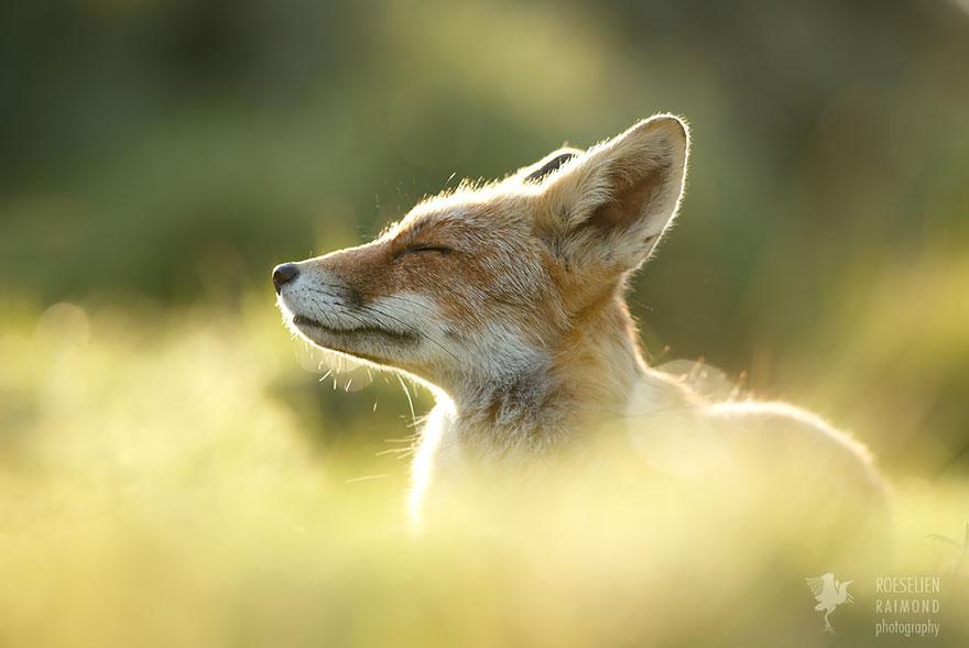 foto-volpi-selvatiche-roeselien-raimond-11