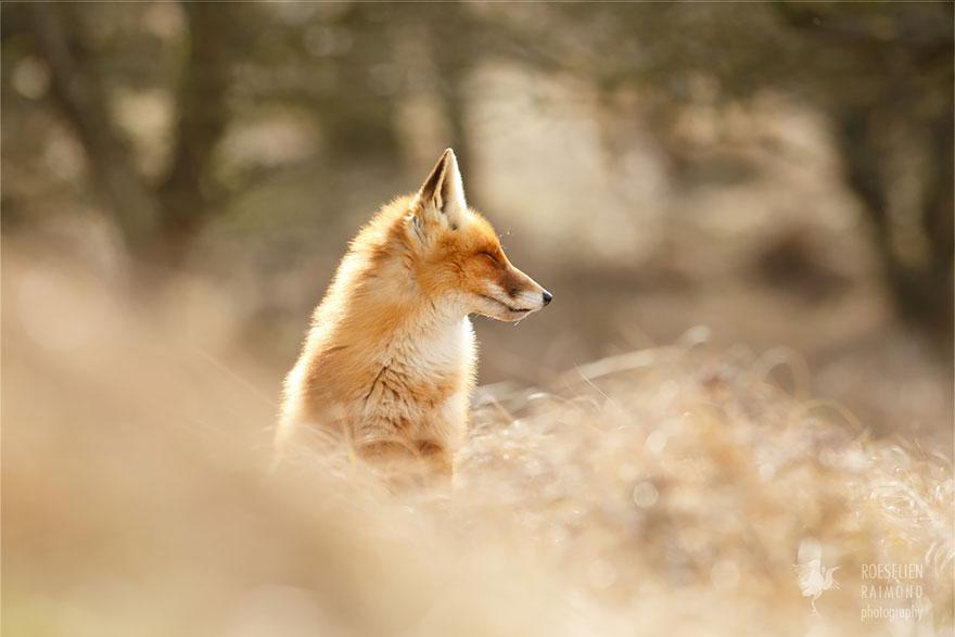 foto-volpi-selvatiche-roeselien-raimond-12