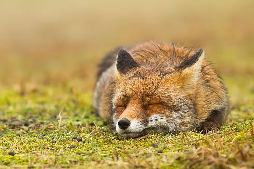 foto-volpi-selvatiche-roeselien-raimond-13