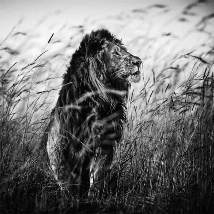 Ritratti in bianco e nero di fauna selvatica celebrano l for Foto hd bianco e nero