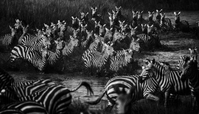fotografia-bianco-e-nero-animali-selvatici-africa-laurent-baheux-4