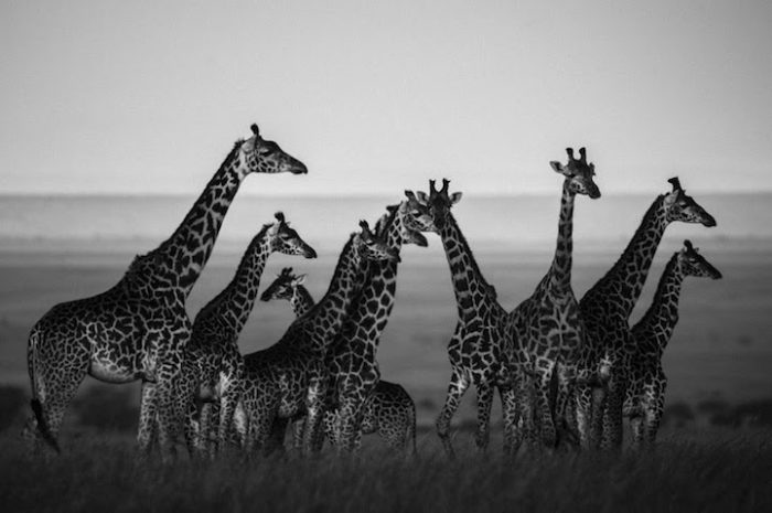 fotografia-bianco-e-nero-animali-selvatici-africa-laurent-baheux-5