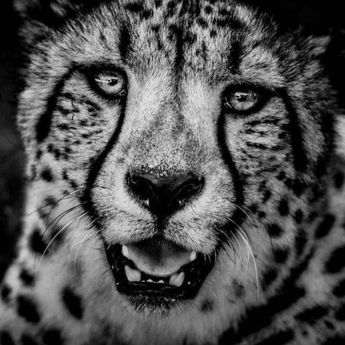 fotografia-bianco-e-nero-animali-selvatici-africa-laurent-baheux-6