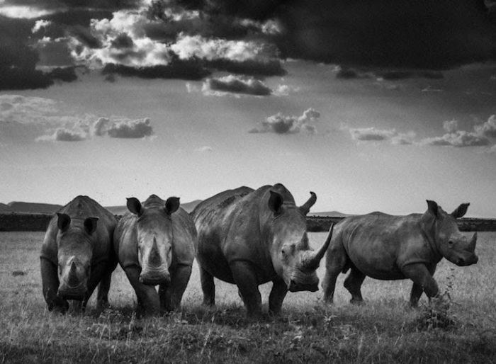 fotografia-bianco-e-nero-animali-selvatici-africa-laurent-baheux-9