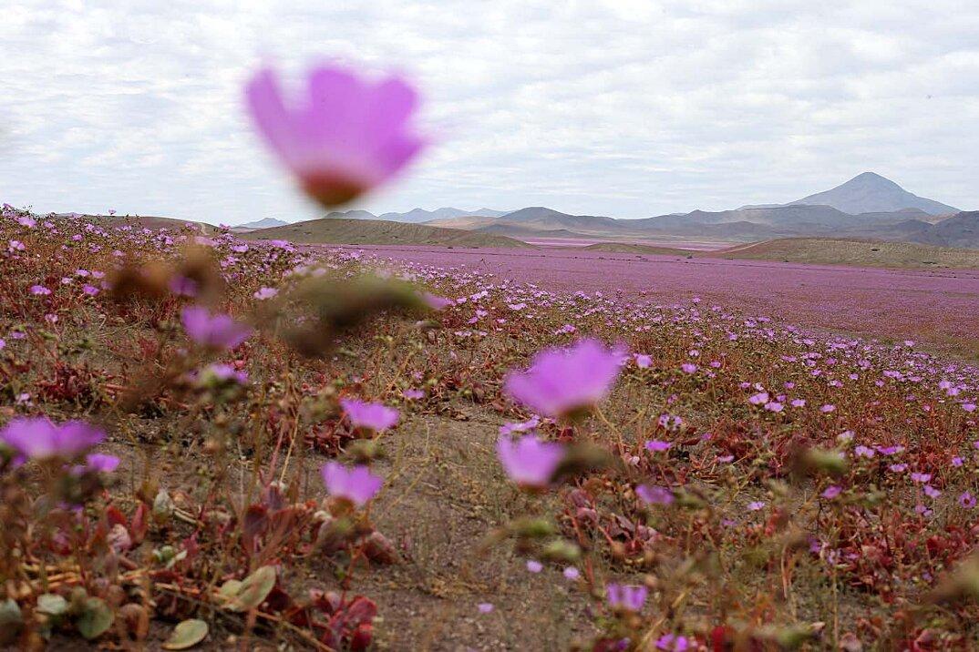 deserto-fiorito-atacama-cile-2