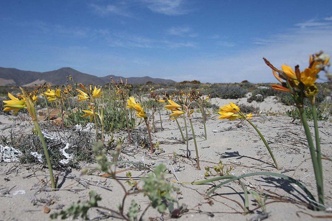 deserto-fiorito-atacama-cile-3