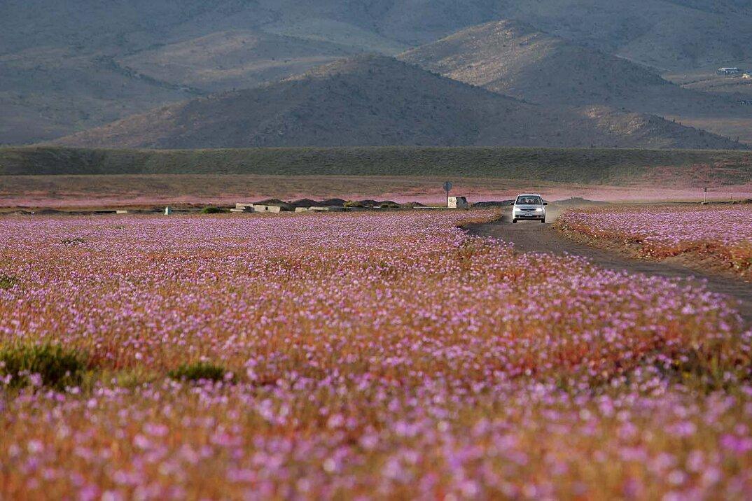 deserto-fiorito-atacama-cile-4