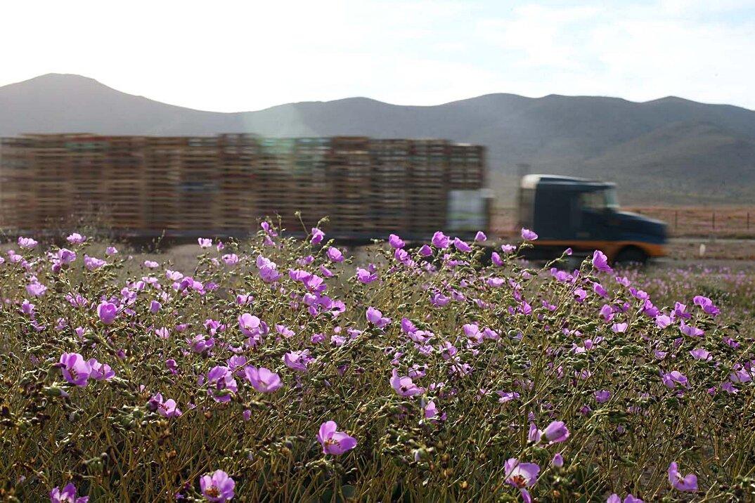 deserto-fiorito-atacama-cile-5