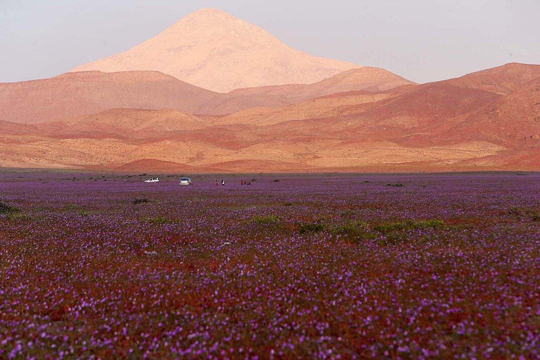 deserto-fiorito-atacama-cile-6