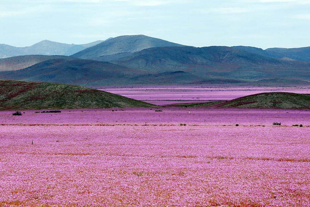 deserto-fiorito-atacama-cile-8