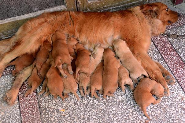 foto-cani-mamma-cuccioli-24