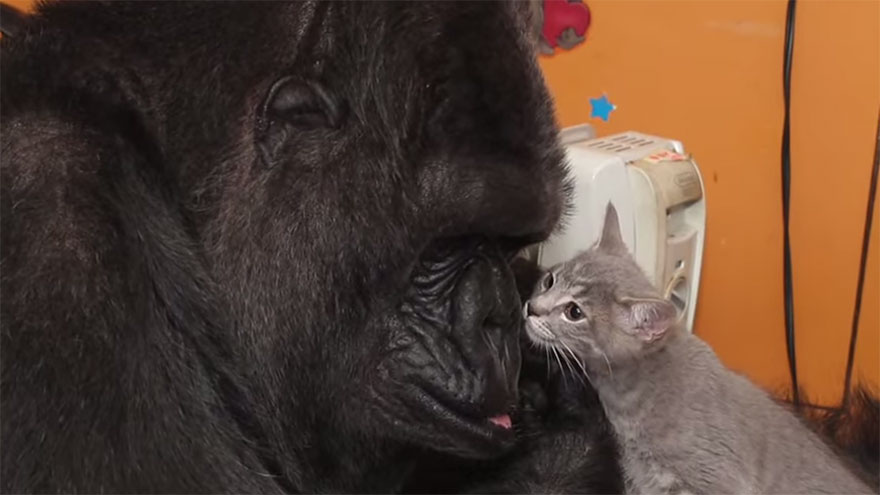 gorilla-koko-adotta-gattini-1