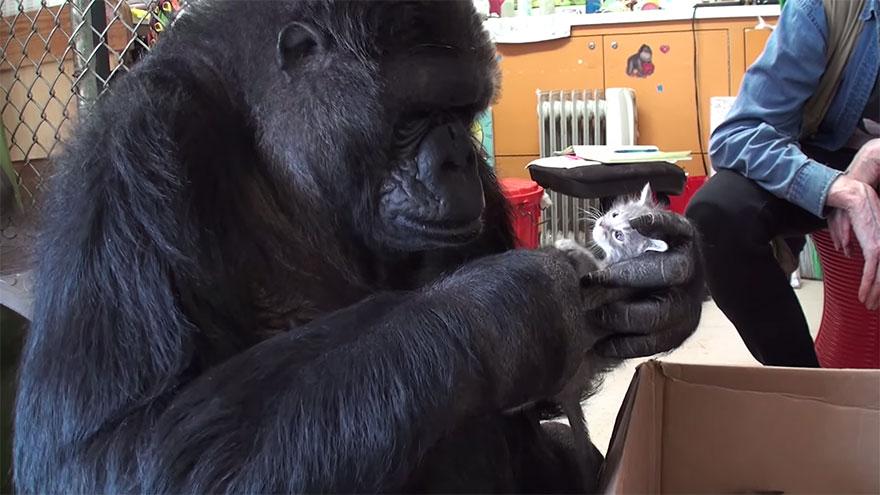 gorilla-koko-adotta-gattini-2