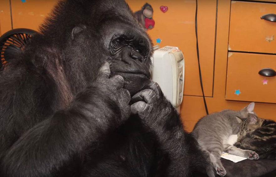 gorilla-koko-adotta-gattini-3