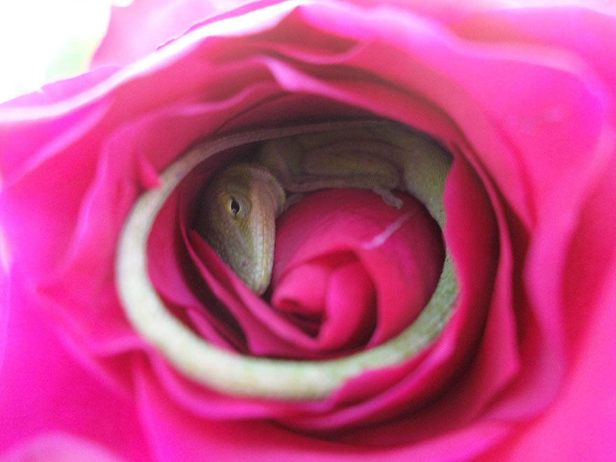lucertola-dorme-dentro-rosa-3