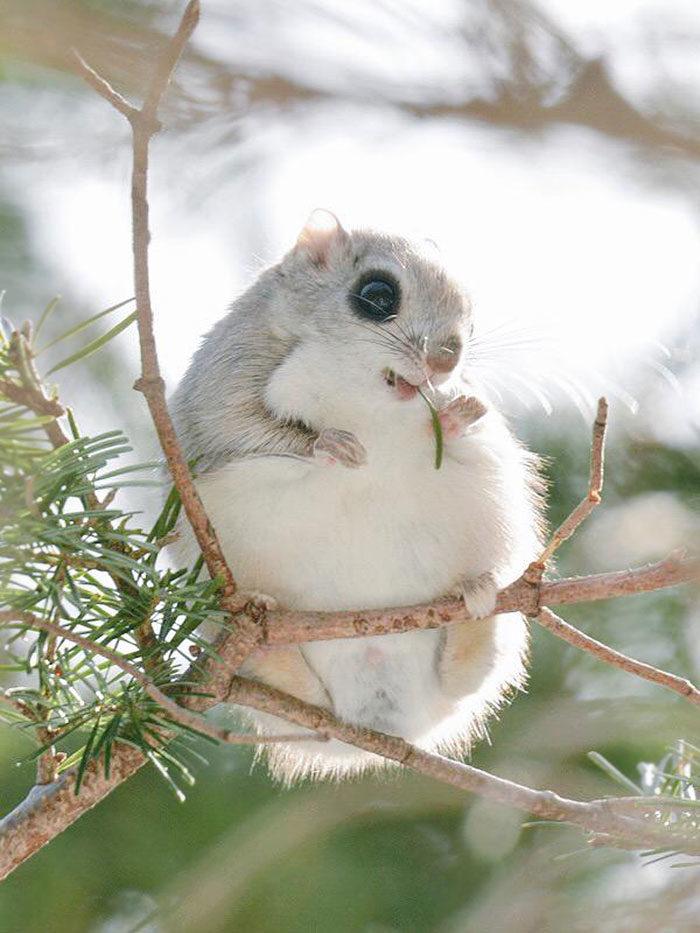scoiattolo-volante-giappone-siberia-01