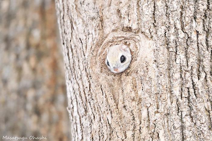 scoiattolo-volante-giappone-siberia-02