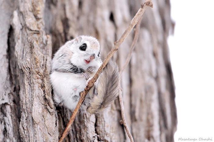 scoiattolo-volante-giappone-siberia-03