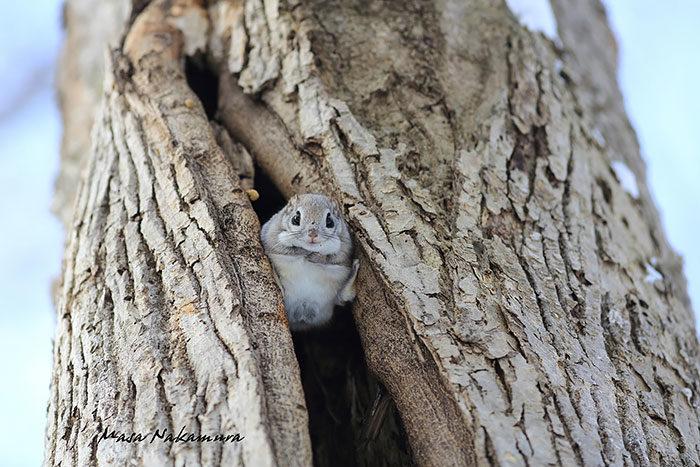 scoiattolo-volante-giappone-siberia-04
