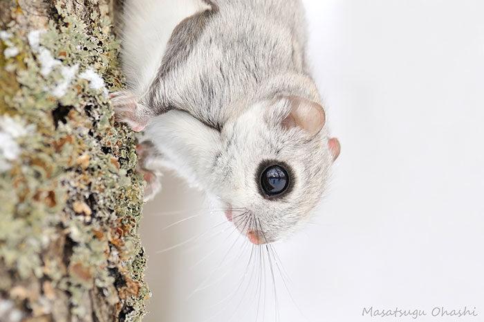 scoiattolo-volante-giappone-siberia-05