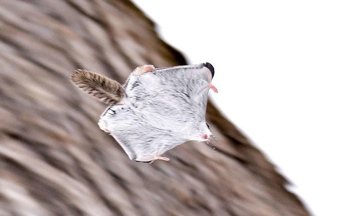 scoiattolo-volante-giappone-siberia-06