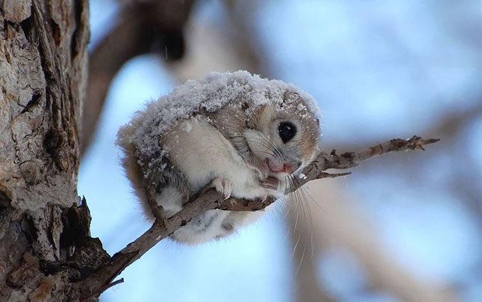 scoiattolo-volante-giappone-siberia-08