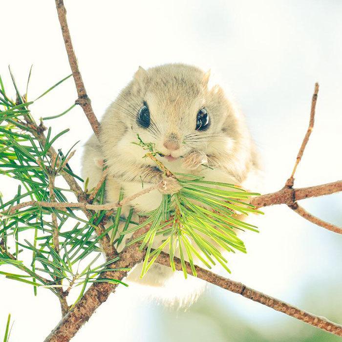 scoiattolo-volante-giappone-siberia-10