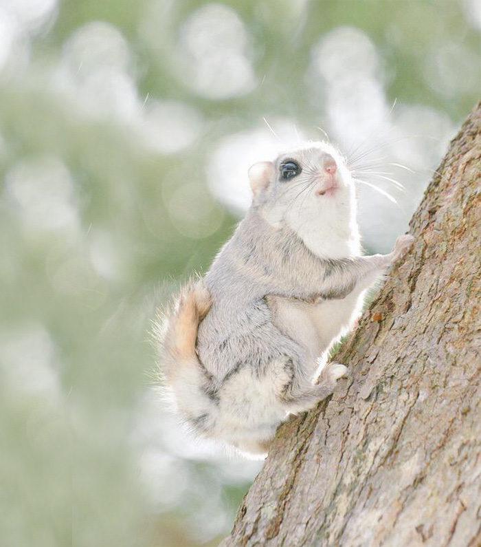scoiattolo-volante-giappone-siberia-11