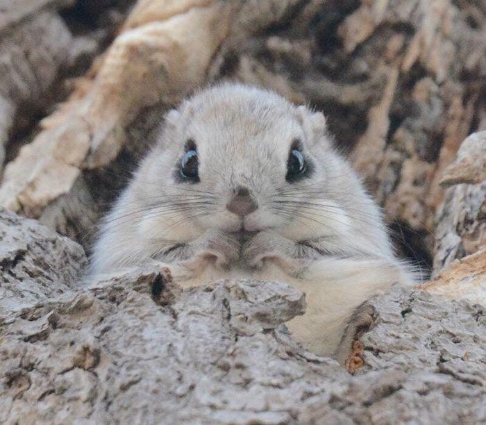 scoiattolo-volante-giappone-siberia-12