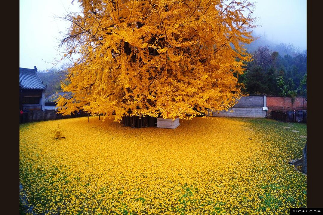 albero-ginkgo-1400-anni-foglie-gialle-tempio-buddista-2