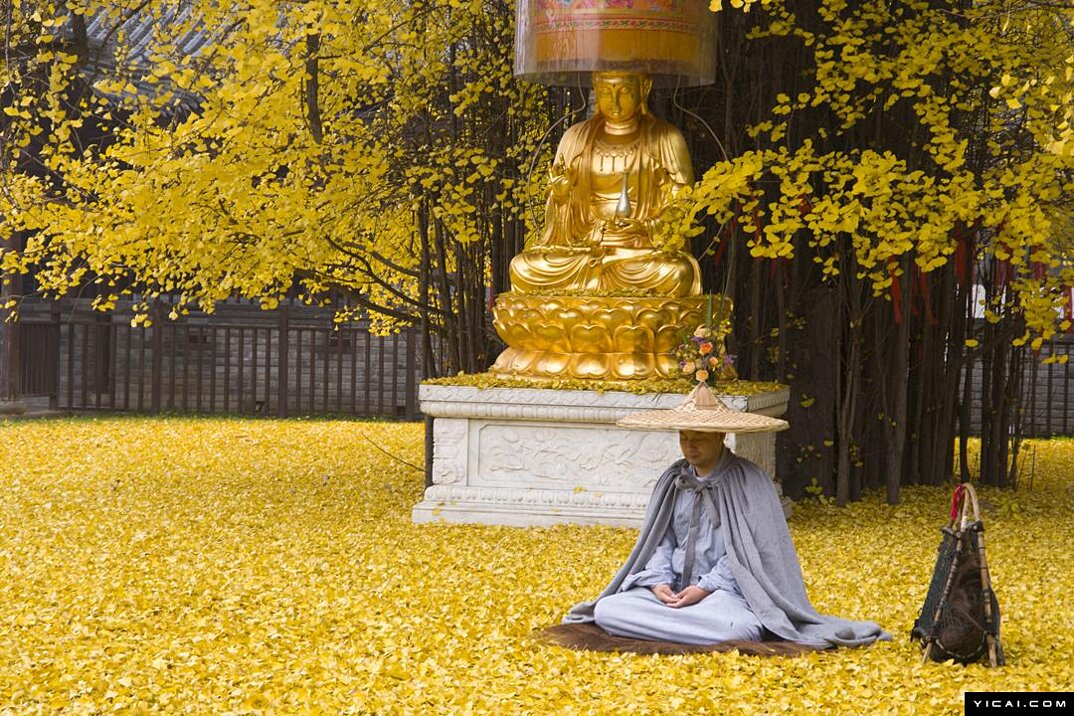 albero-ginkgo-1400-anni-foglie-gialle-tempio-buddista-3