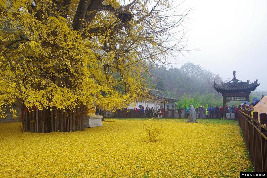 albero-ginkgo-1400-anni-foglie-gialle-tempio-buddista-4