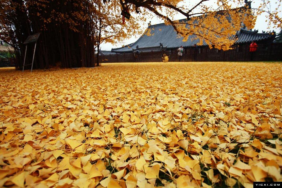 albero-ginkgo-1400-anni-foglie-gialle-tempio-buddista-5