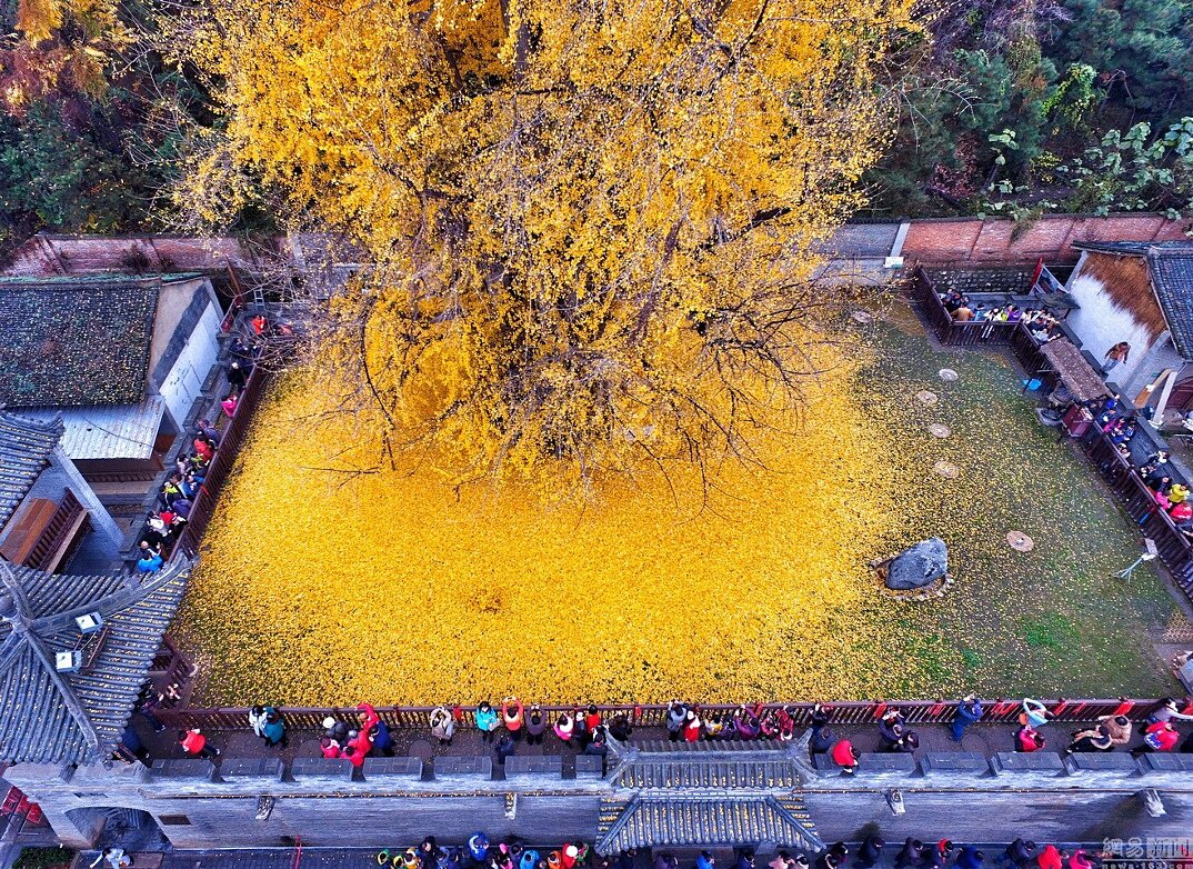 albero-ginkgo-1400-anni-foglie-gialle-tempio-buddista-6