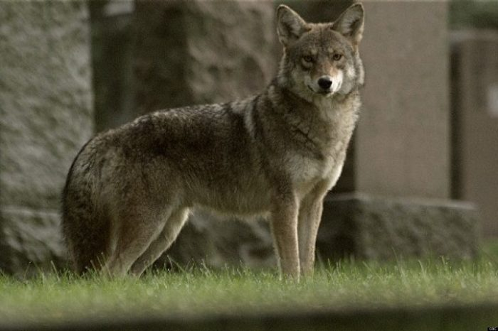 coywolf-incrocio-lupo-coyote-cane-razza-4