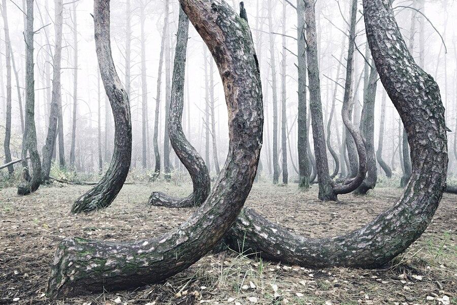 crooked-forest-foresta-alberi-curvi-polonia-fotografia-kilian-schoenberger-6