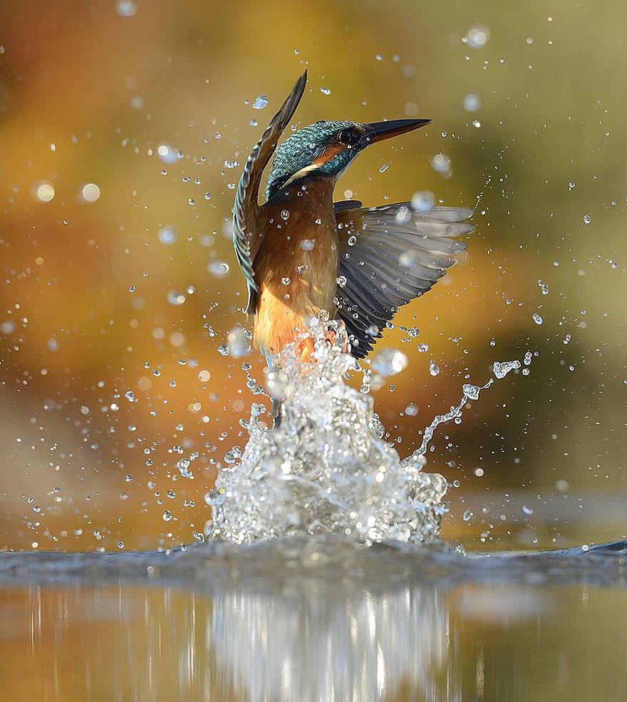 fotografia-perfetta-martin-pescatore-picchiata-acqua-immersione-alan-mcfadyen-1