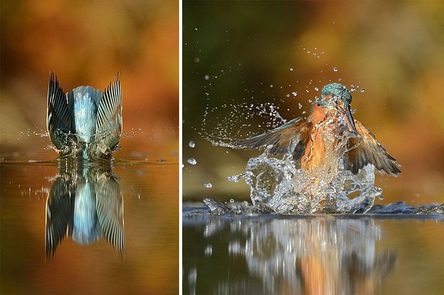 fotografia-perfetta-martin-pescatore-picchiata-acqua-immersione-alan-mcfadyen-5