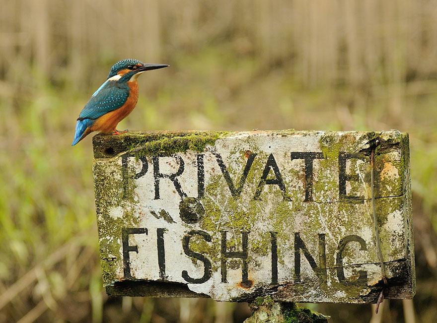 fotografia-perfetta-martin-pescatore-picchiata-acqua-immersione-alan-mcfadyen-6