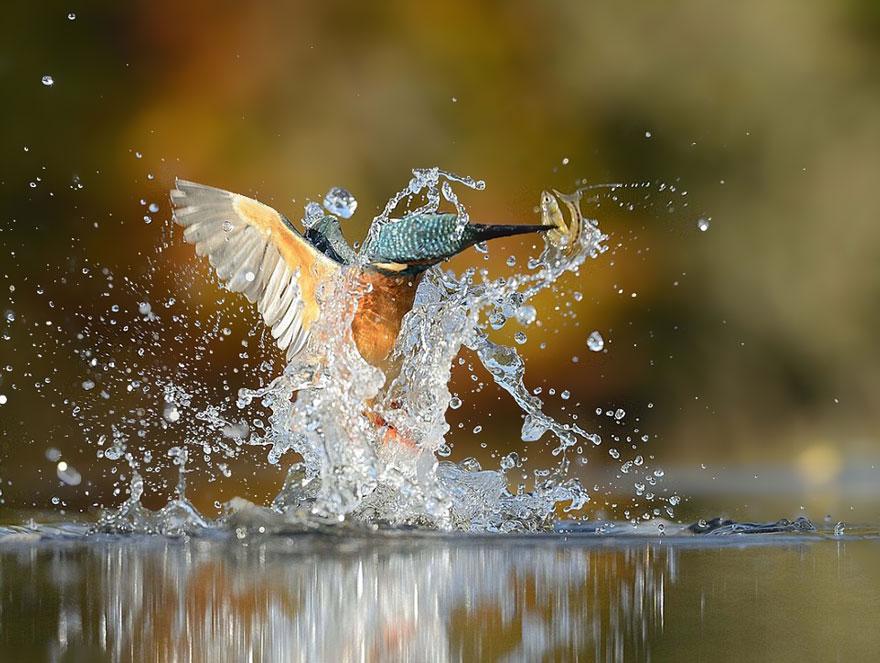 fotografia-perfetta-martin-pescatore-picchiata-acqua-immersione-alan-mcfadyen-7