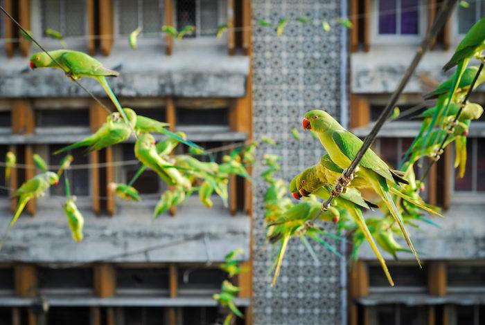 pappagalli-parrocchetti-verdi-india-1