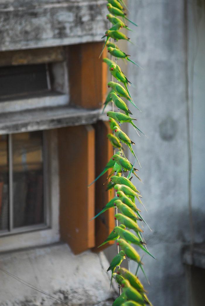 pappagalli-parrocchetti-verdi-india-2