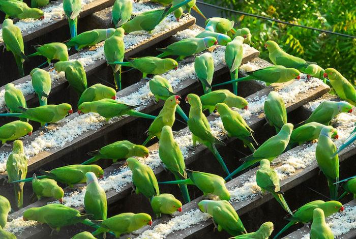 pappagalli-parrocchetti-verdi-india-5