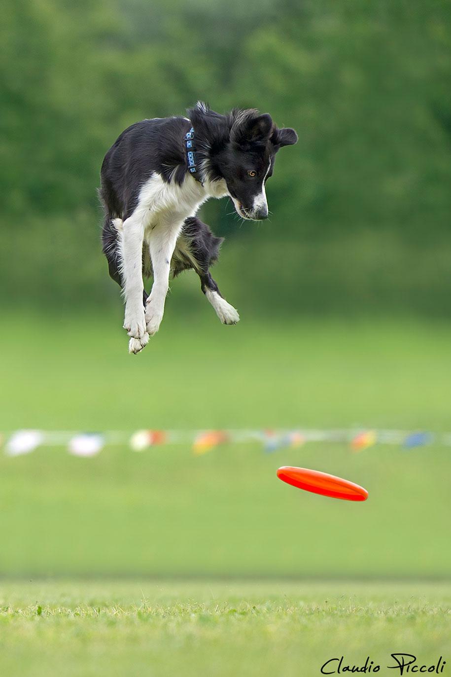 fotografia-cani-che-volano-frisbee-claudio-piccoli-02