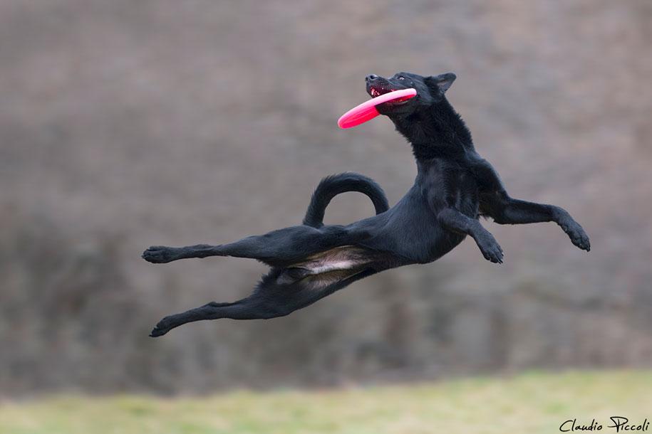fotografia-cani-che-volano-frisbee-claudio-piccoli-04